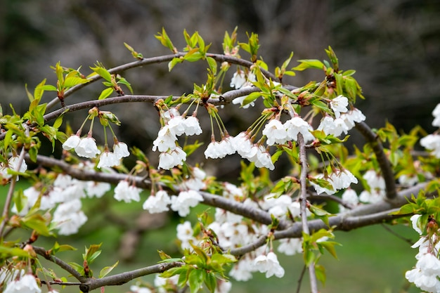 봄날 벚꽃의 꽃