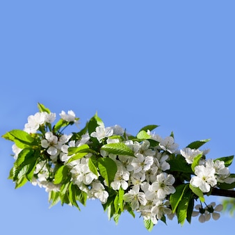 桜の花、背景