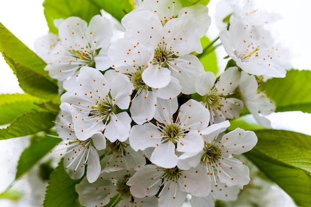 Цветы вишневого дерева, весенние фоны