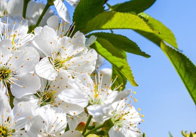 桜の花、春の背景