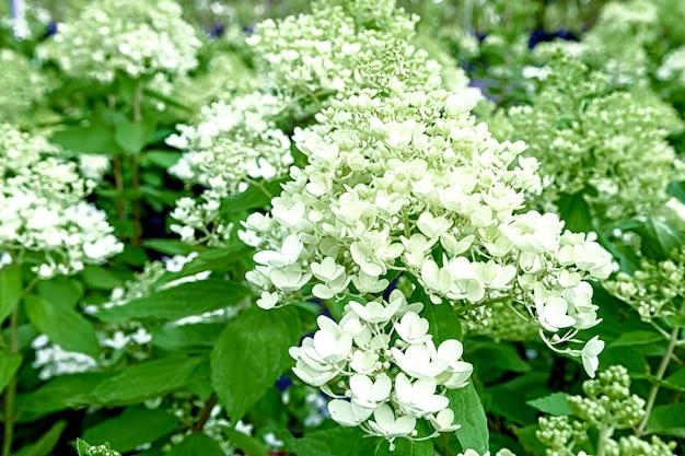 植物アジサイの花がクローズアップ