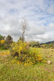 Цветы растения, известного как метла cytisus scoparius, растут вокруг небольшого деревца.