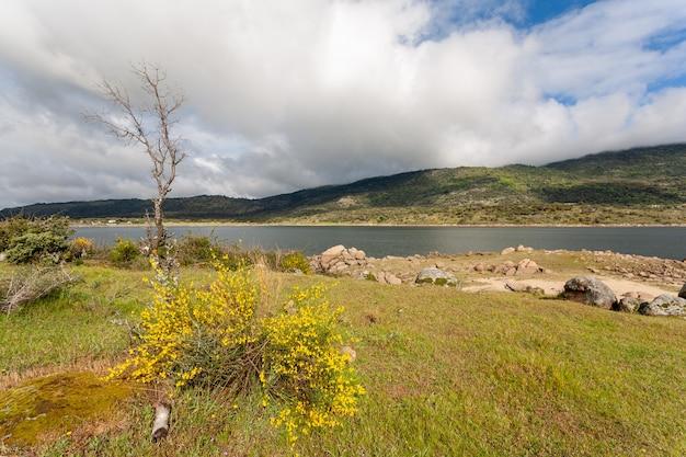 Цветы растения, известного как метла cytisus scoparius, рядом с озером