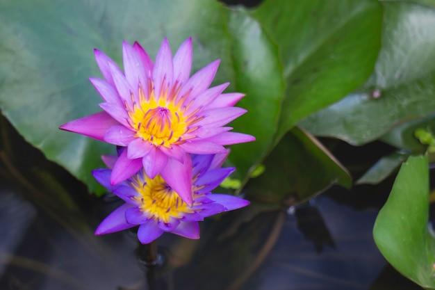 水面に睡蓮の花、ストックフォト