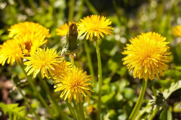 봄에는 야생 민들레 꽃, 노란색 꽃은 매우 밝고 화사해 보입니다.