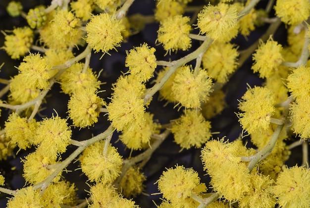 黄色いミモザの花のクローズアップ