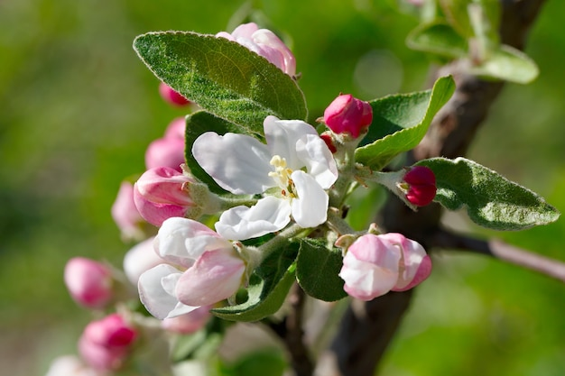 Цветы на ветке фруктового дерева.