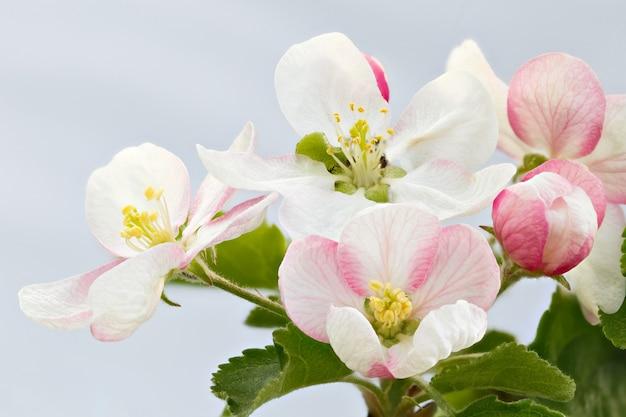 リンゴの木の枝に花。咲く果樹園。