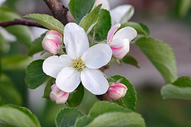 Цветы на ветках яблони