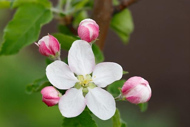 リンゴの木の枝に花