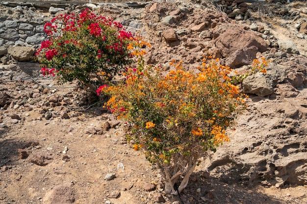 그란 카나리아 남쪽 해안의 꽃