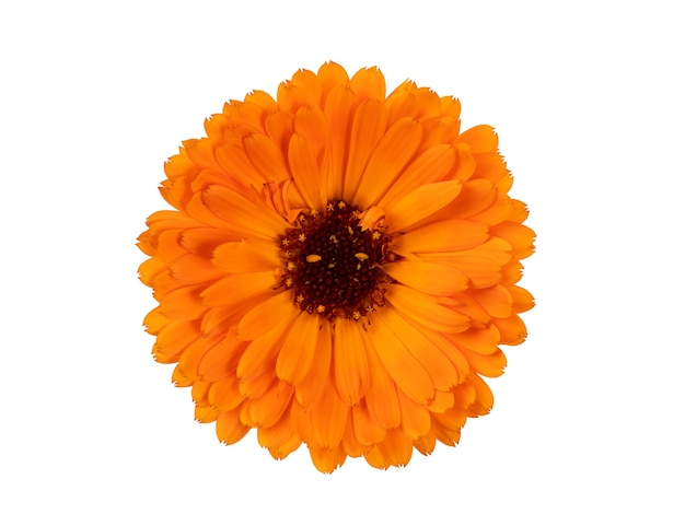 Flowers of orange and yellow calendula officinalis isolate on a white background