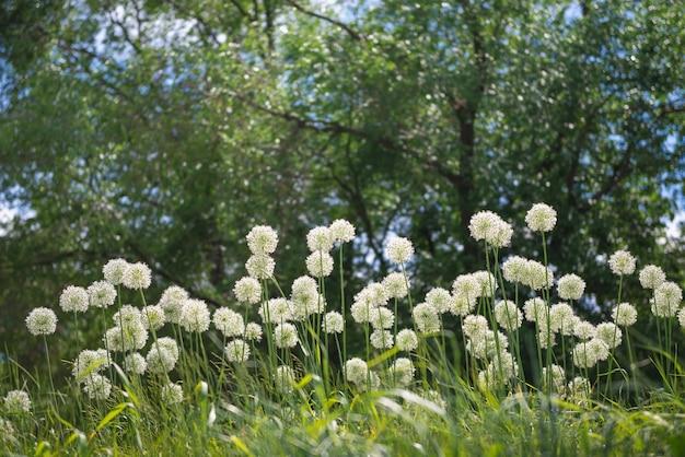 Flowers ornamental onion allium in the park. floriculture, gardening, nature theme.