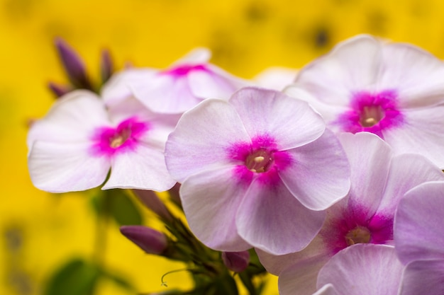 Flowers phlox. pink flower and green leaves