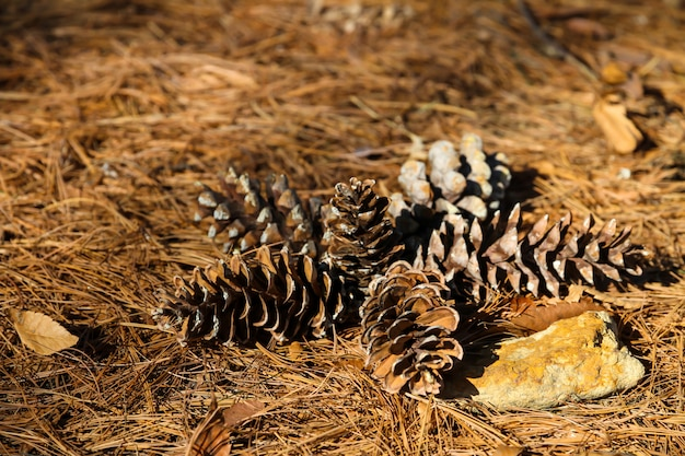 The flowers of the pine trees lie on the ground.