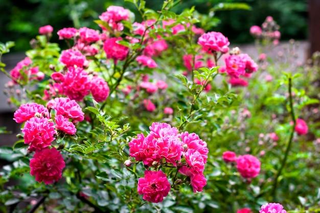 Flowers of pink climbing roses closeup