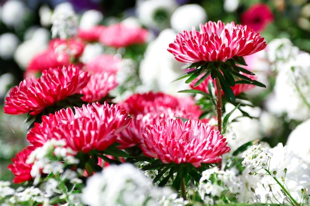 Flowers pink and purple asters background
