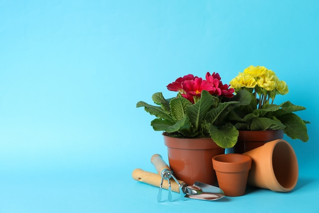 Flowers in pots and gardening tools on blue background, space for text