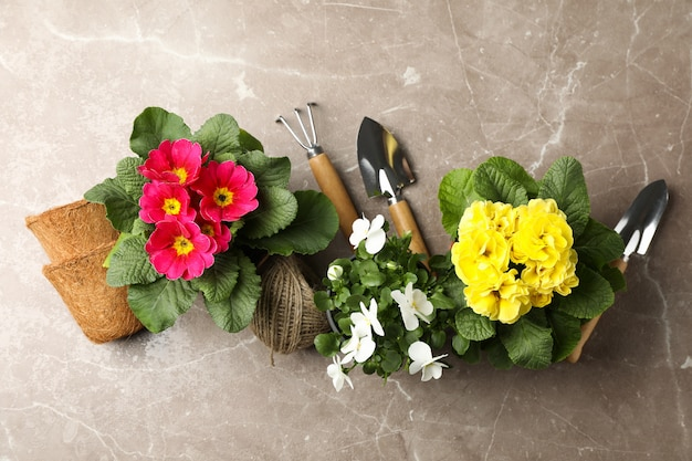 Flowers in pots and gardening tools on grey background, top view