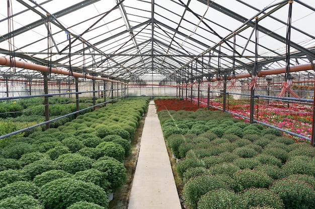 花の生産と栽培。温室にはたくさんの菊の花が咲いています。菊のプランテーション