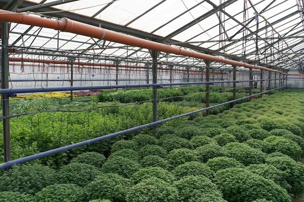 꽃 생산 및 재배. 온실에있는 많은 국화 꽃. 국화 농장
