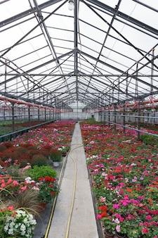 꽃 생산 및 재배. 온실에있는 많은 제라늄과 국화 꽃.