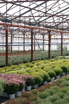 Flowers production and cultivation. many chrysanthemum flowers in the greenhouse. chrysanthemum plantation