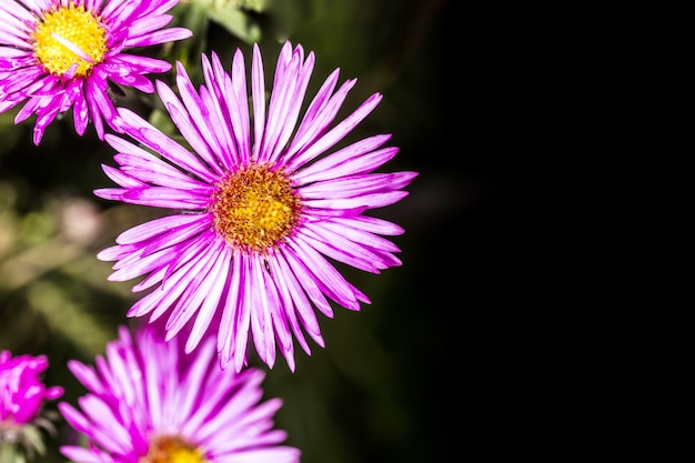 Flowers pyrethrum on a dark with space for text