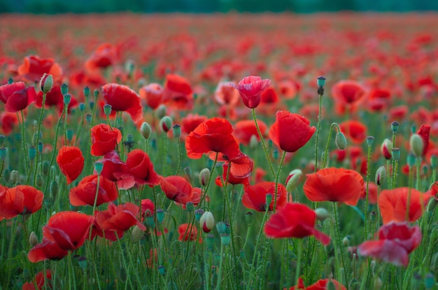 Цветы красные маки цветут на диком поле