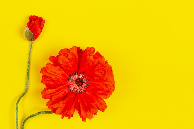 Flowers red poppies on yellow closeup top view with copy space flat lay