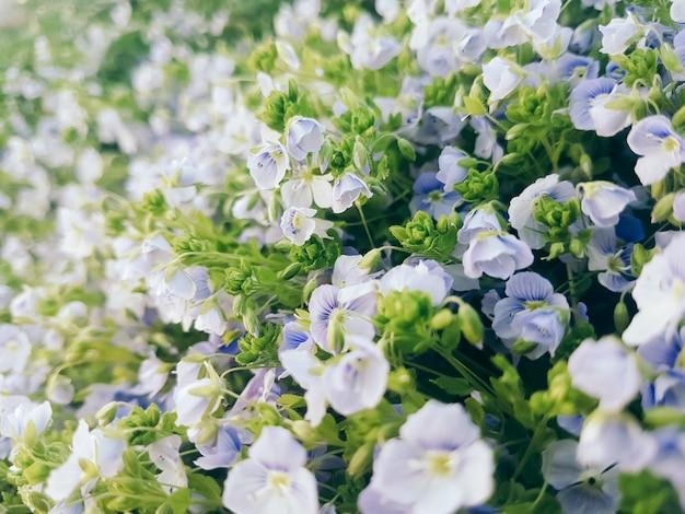 春の森の開拓地に花のスノードロップ。