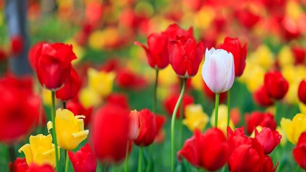 Цветы tullip