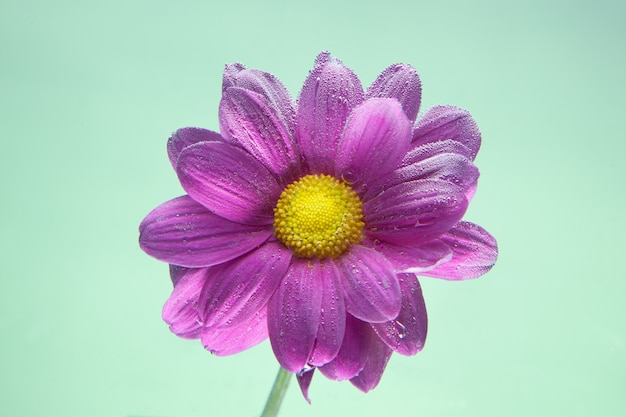 Flowers under the water, purple chrysanthemum with air bubbles on lilacs