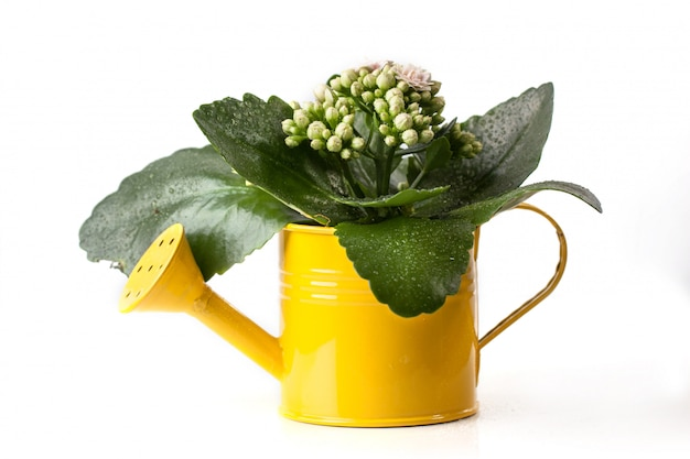 Flowers in watering can isolated
