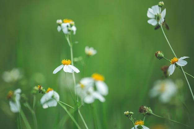 꽃 흰색 아름 다운 녹색 논 배경 녹색입니다.
