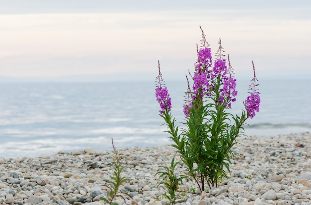 Flowers of willow-herb ivan-tea on blurred background