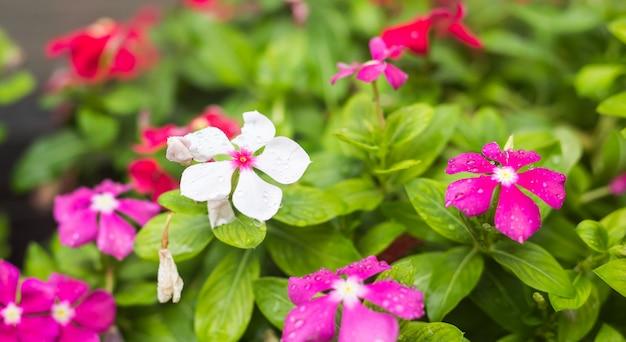 Цветки с дождем падают в сад, мягкий фокус. вест-индский барвинок, catharanthus roseus, цветок барвинка, глаз брингт