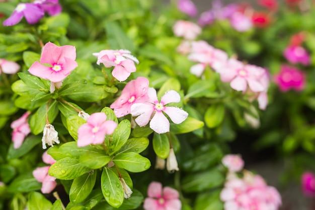 Цветы с каплями дождя в саду, вест-индский барвинок, catharanthus roseus, цветок барвинка, глаз bringht