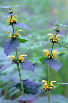 Flowers of yellow archangel (lamium galeobdolon), a common wild plant in forests