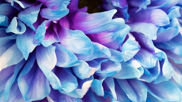 Цветочная текстура для фона. красивые цветущие цветы георгина, крупным планом. скопируйте пространство. насыщенный синий цвет.