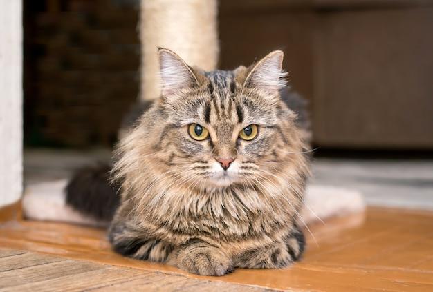 Пушистый красивый милый кот важно лежал на полу дома крупным планом