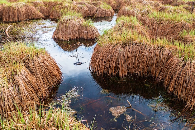 Пушистое красивое торфяное болото травы на воде озера голубого болота.