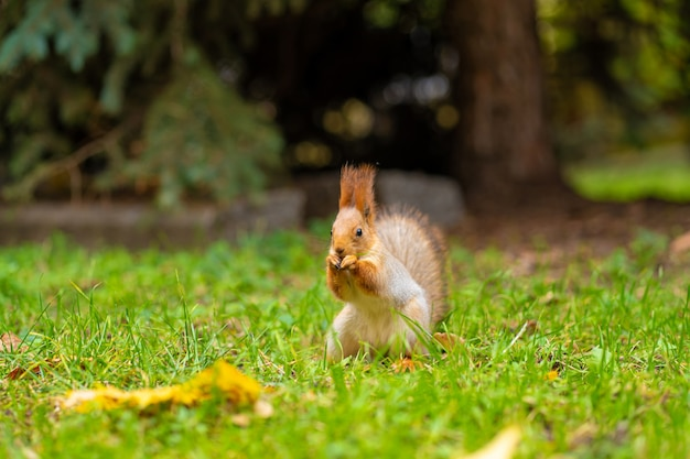 푹신한 아름다운 다람쥐는 도시 공원의 푸른 잔디밭에서 너트를 먹습니다.