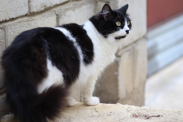 밝은 날에 푹신한 흑백 고양이는 큰 녹색 눈을 교차하여 계단에 서 있습니다