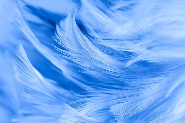 Fluffy of blue chicken feathers in soft and blur style for the background