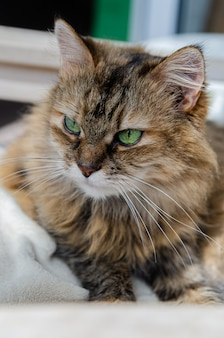 Fluffy brown cat is resting on a white chair. beautiful green-eyed cat.