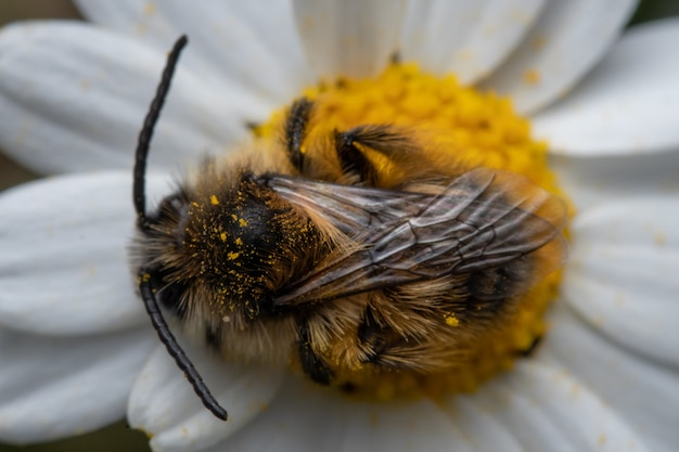 Fluffy bumblebee on a daisy flower in a garden drinking nectar