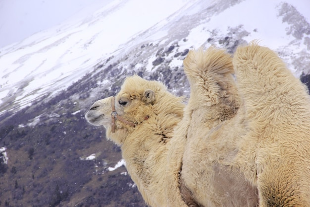 Fluffy camel against the background of the caucasian high snow-capped mountains