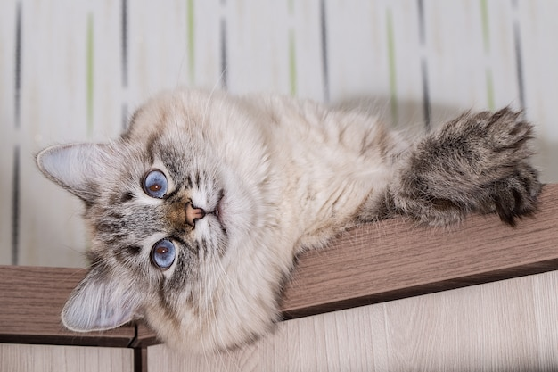 Fluffy cat lies on a wooden table. portrait of a beautiful cat