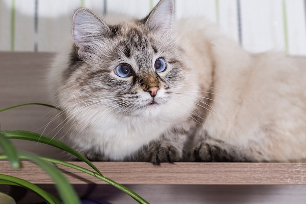 Fluffy cat lies on a wooden table.